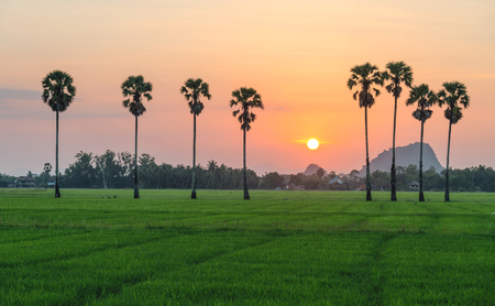Sunset between the line of sugar palm tree with green rice field.