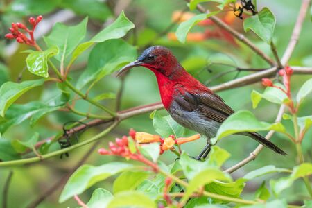 Crimson Sunbird in the forest at southern of Thailand. Stok Fotoğraf