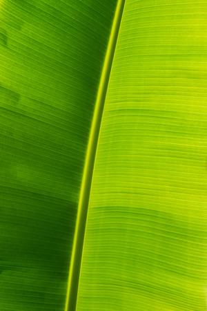 banana leaf: Hoja de pl�tano