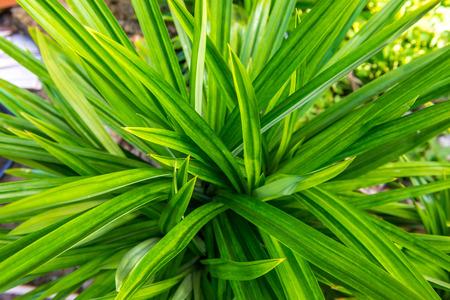 pandanus: Pandanus leaf Stock Photo