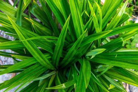 pandanus tree: Pandanus leaf Stock Photo