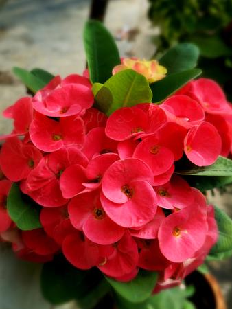 Poi Sian flowers in garden
