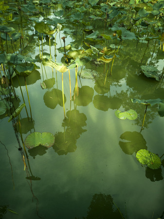 Lotus flower in a pond in a park.