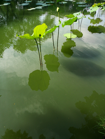 Lotus flower in a pond in a park. thailand 스톡 콘텐츠