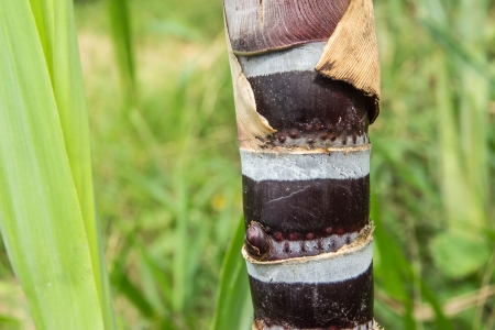 Close up of sugar cane on green background in Thailand photo