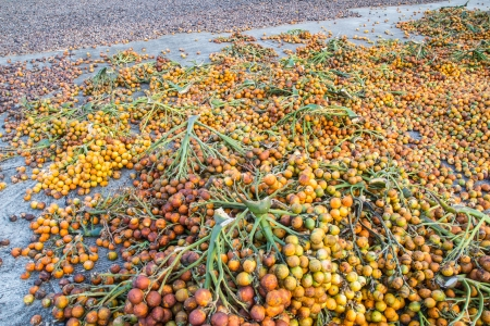 Close up of palm fruits with bunch drying on floor  in Thailand photo