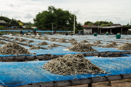 Dried small fish on blue net in the fisherman village photo