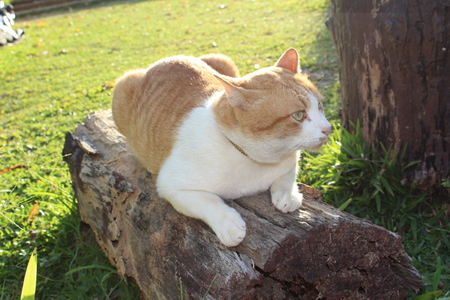 crouch: Thai cat crouch on the log