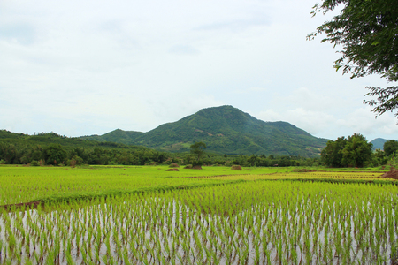 rice field: Rice field with mountain Stock Photo