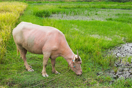 Albino buffalo eating grass in the rice field