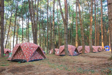The campsite in pine forest