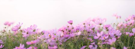 Border of pink cosmos flower in cosmos field with bokeh. Closeup flowers blooming on softness style in spring summer under sunrise. Beautiful cosmos in garden with blurry background and soft sunlight