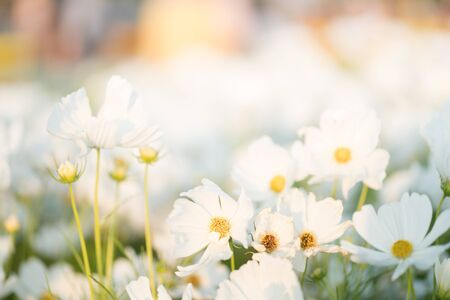 Border of white cosmos flower in cosmos field with bokeh. Closeup flowers blooming on softness style in spring summer under sunrise. Beautiful cosmos in garden with blurry background and soft sunlight