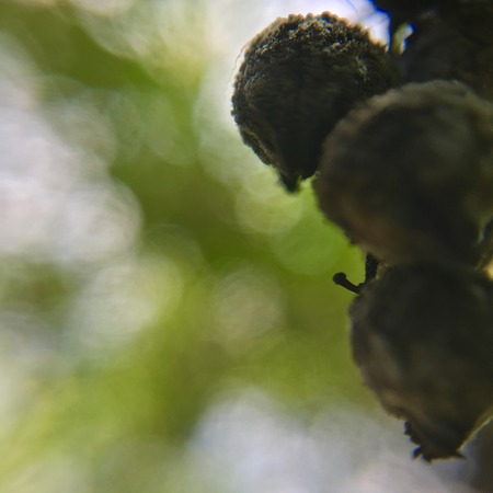 썩은 황금 dewdrop 과일의 문자열입니다. 스톡 콘텐츠