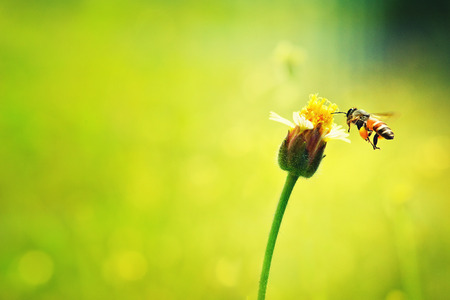mellifera: a Bee flying to the beautiful flower.