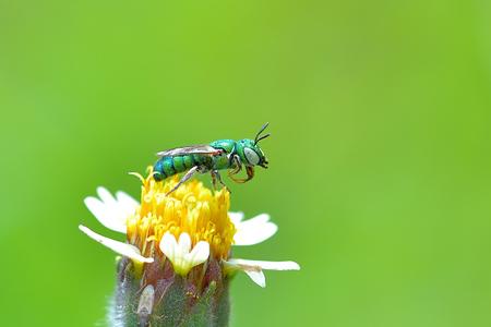 Agapostemon splendens (Metallic Green Bee) perched on the beautiful flower.
