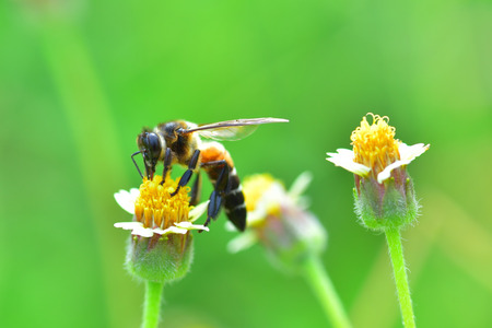 mellifera: a Bee perched on the beautiful flower.