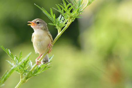 Bird is sitting on green summer grass. (Bird Common Tailorbird) (Orthotomus sutorius) Stock Photo