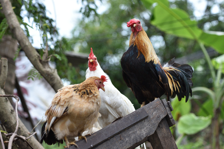 cockfighting: thai chicken stand on the old block wood. Stock Photo