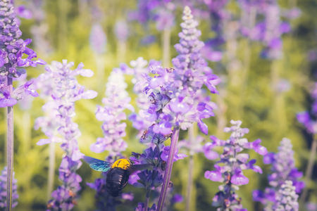 Carpenter Bee are flying to beautiful flowers in nature.