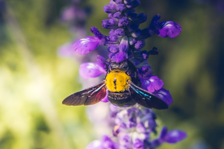Carpenter Bee perched on the beautiful flowers in nature.