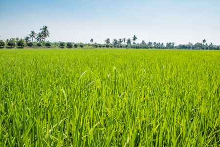 Beautiful rice green in the field a vast area.