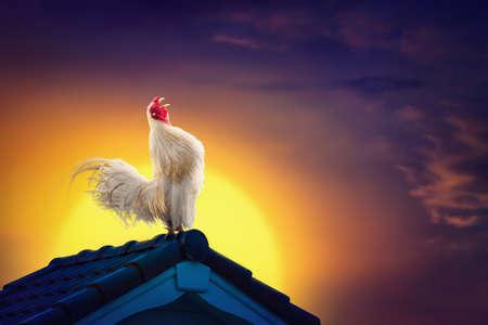 Witte haan kippenhaan kraaien op dak en prachtige zonsopganghemel met vroege ochtend concept.