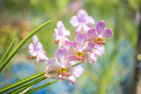 Miss Udon Sunshine Orchid is a new fragrant Thai orchid species from cross-breeding Vanda with Josephine Van Berrow. The flower was registered as Udorn Sunshine Orchid or Miss Udorn Sunshine for a copyright with the World Orchid Society in the United King