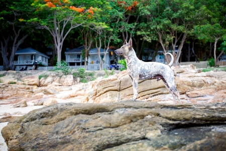 dog rock: a dog standing on the rock
