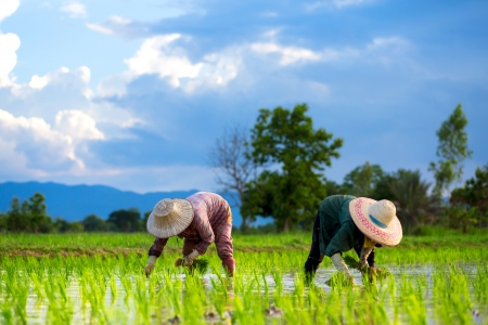 rice fields: Farmers are planting rice in the farm. Stock Photo