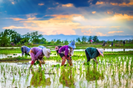 field of thai: Farmers are planting rice in the farm.   Stock Photo