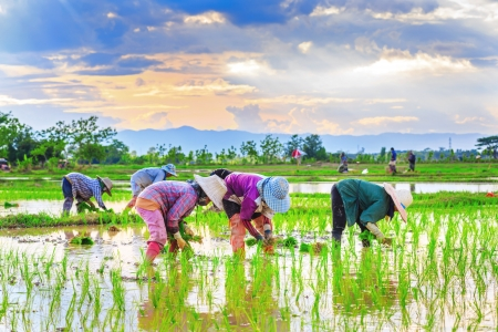 Farmers are planting rice in the farm. Stock Photo