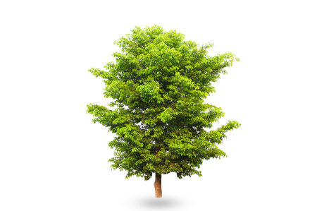 Isolated of Green tree on white background