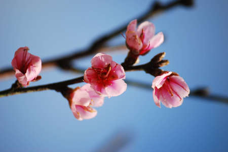 flor de sakura: Tailandia sakura flor