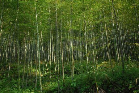 exuberant: the exuberant growth of bamboo grove Stock Photo