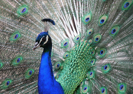 peahen: Peacock