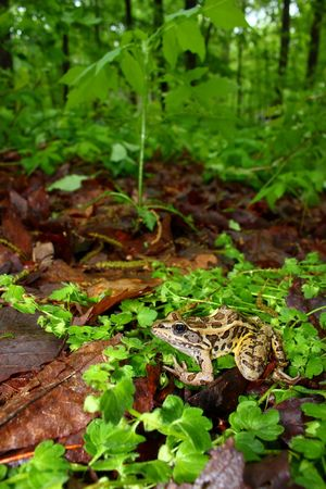 pickerel: A Pickerel Frog (Rana palustris) surveys the forest floor at Monte Sano State Park, Alabama.