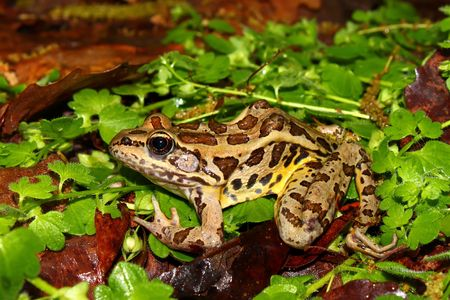pickerel: A Pickerel Frog (Rana palustris) sits on the forest floor at Monte Sano State Park - Alabama. Stock Photo