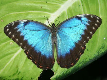 Peleides Blue Morpho Butterfly (Morpho peleides)