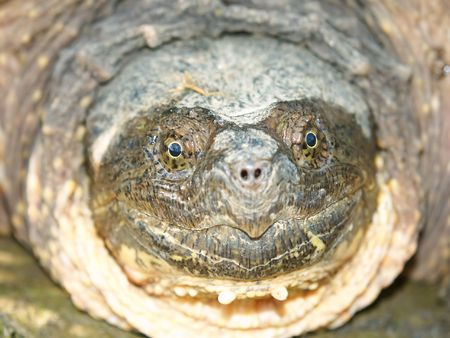 snapping turtle: Snapping Turtle (Chelydra serpentina) in Illinois Stock Photo
