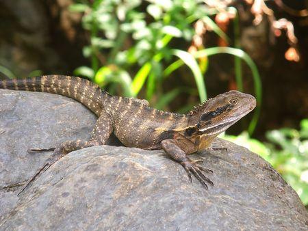Australian Water Dragon (Physignathus lesueurii) - Queensland, Australia photo