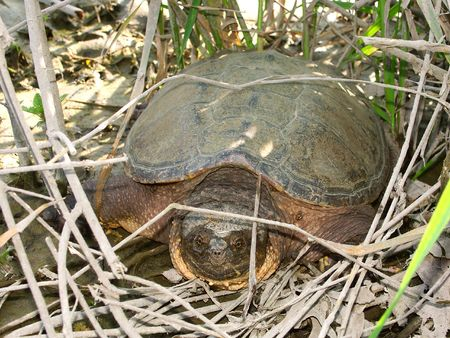 snapping turtle: Snapping Turtle (Chelydra serpentina) - Illinois
