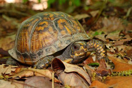 Dosenschildkröte (Terrapene Carolina) im Monte Sano State Park - Alabama Standard-Bild - 7439363