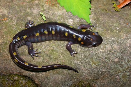 Spotted Salamander (Ambystoma maculatum) - Monte Sano State Park, Alabama