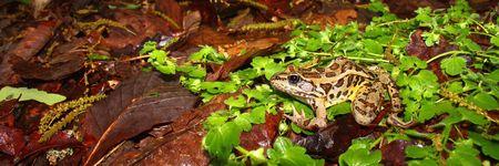pickerel: Pickerel Frog (Rana palustris) - Monte Sano State Park, Alabama Stock Photo