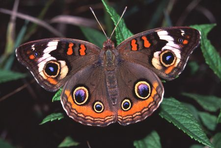 buckeye: Buckeye Butterfly (Junonia coenia) - Illinois Stock Photo