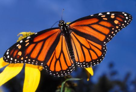 Monarch Butterfly (Danaus plexippus) - Illinois Stock Photo