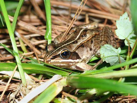 herpetology: Wood Frog (Rana sylvatica) in the northwoods of Wisconsin