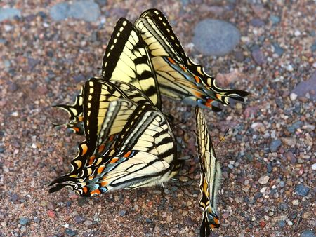 swallowtails: Tiger Swallowtails (Papilio glaucus) - northern Wisconsin