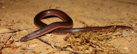 Eastern Wormsnake (Carphophis amoenus) in northern Alabama Stock Photo - 7570011